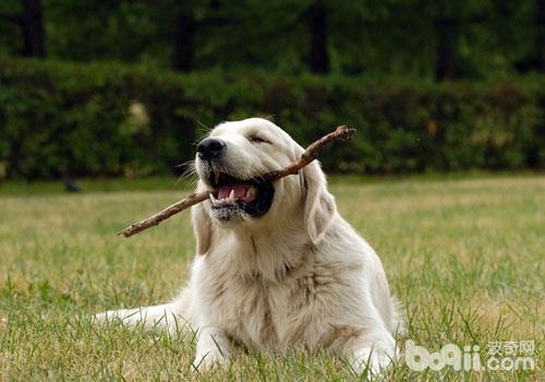 狗狗一直要跟主人玩怎么办-成犬饲养