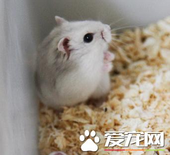 奶茶仓鼠怎么分公母 通过生殖器官来分辨